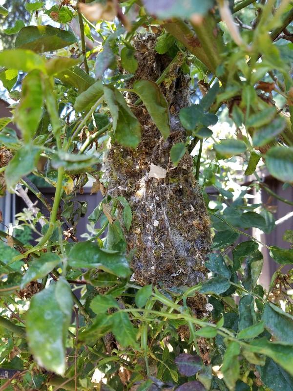 bushtit nest 1